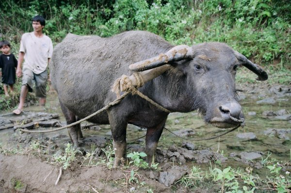 Water buffalo ploughing a field in interior Panay, the Philippines